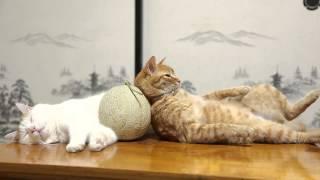 メロンを囲んで眠る猫たちの平和な昼下がり