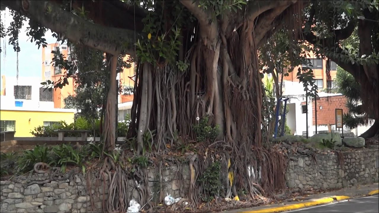 giant rubber tree in caracas youtube. Black Bedroom Furniture Sets. Home Design Ideas