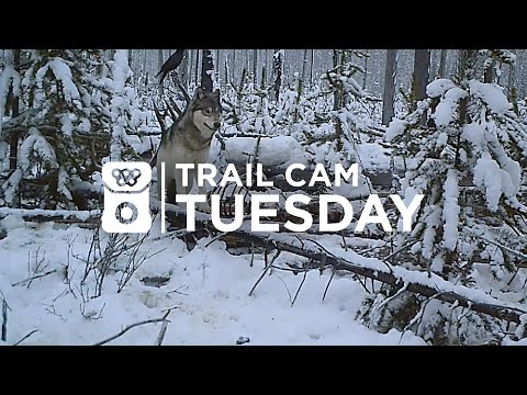 Wolf Pack Feeds on a Giant Bull Elk in British Columbia! | Trail Cam Tuesday - 004 from YouTube · Duration:  3 minutes 46 seconds