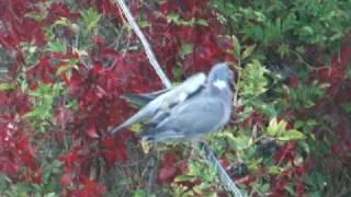 Juvenile Woodpigeon Begging Food