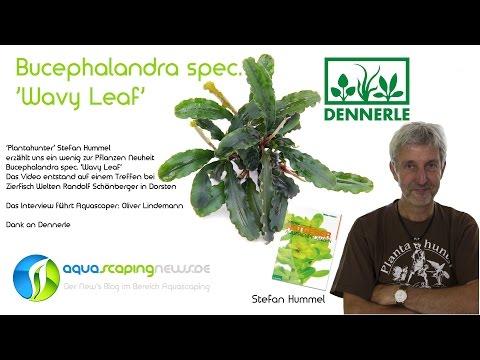 Bucephalandra spec. 'Wavy Leaf'