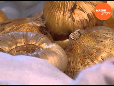 Садовод опытник Анна Подкорытова советует, как хранить луковицы гладиолусов