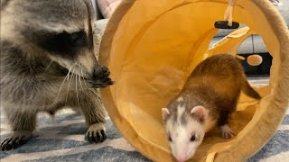 Cheeto The Raccoon Meets ferrets for the first time!