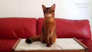 Virtual Cat Show Serbia 2020  Cats Final Francesca Gagern
