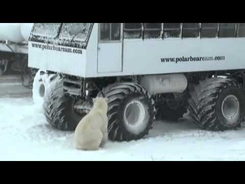 The Polar Bears of Churchill | The Coolest Stuff on the Plan