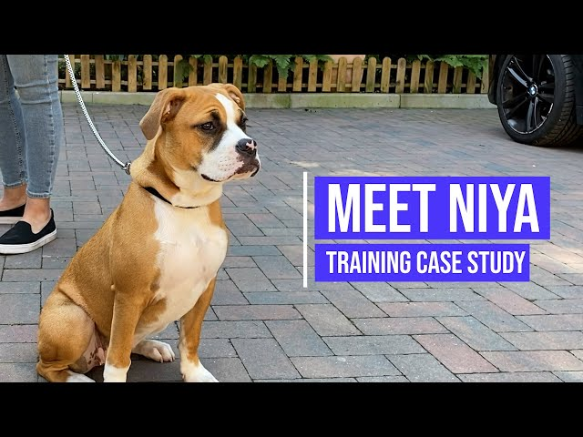 Obedience training for a hyperactive Boxer - American Bulldog cross breed