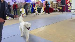 Международная выставка собак Созвездие Азии, Бишкек 2018. Часть 21
