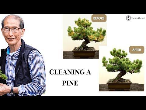 How to clean a White Pine Bonsai