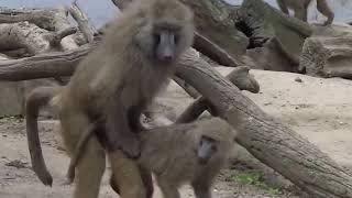 Maymunların çiftleşmesi Belgesel Niteliğinde