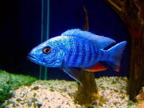 Electric blue hap fry youtube for Electric fish tank