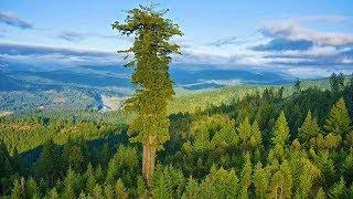 Самые большие деревья в мире. СЕКВОЙЯ. ГИПЕРИОН. Интересные факты