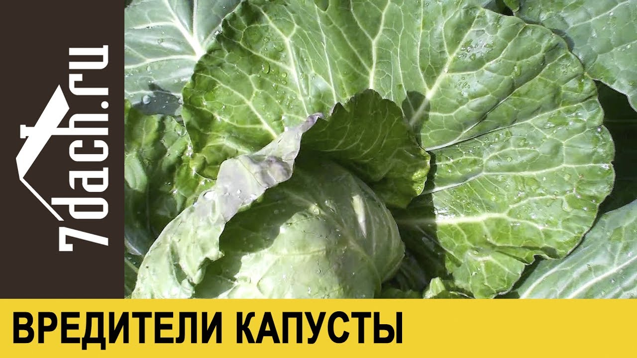 Вредители капусты: как избавиться от гусениц и слизней - 7 дач