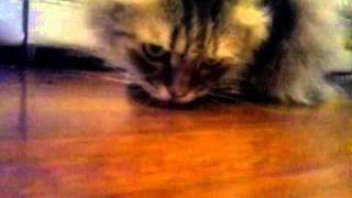 Кот ест аскорбинку (кислоту аскорбиновую)