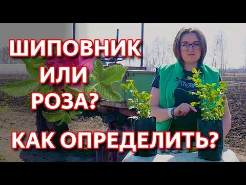 Вопрос: Какие отличия между лесным шиповником и выросшем на садовой розе?