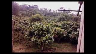 For Sale 29 Hectare (71.66 acre) Finca Santo Domingo Ecuador Cacao Producing Tourism Retirement