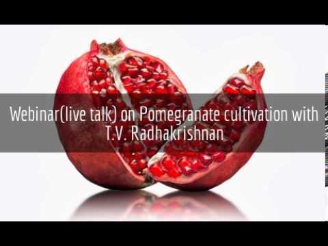 Pomegranate cultivation - T.V. Radhakrishnana - www.agricultureinformation.com