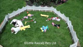 Little Rascals Uk Breeders New Litter Of Cockers - Puppies For Sale UK