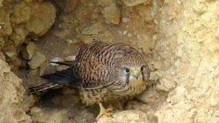 Com. Kestrel - Torenvalk - ( Male & Female - Hiding in cave  )