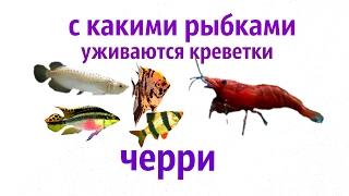 С какими рыбками уживаются креветки вишенки, ЧЕРРИ !?!(Neocaridina Heteropoda var. Red )