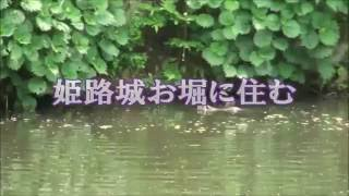特ダネ 姫路城のお堀に住む「ヌートリア」 NHKクローズ現代プラスで一部放映版