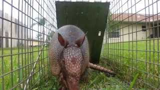 Armadillo Trapping And Removal In Palm Bay, Fl