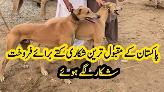 Grey Hound Dog For Sale | Grey Hound Dog Hunter In Pakistan  | Most Beautiful Grey Hound Dog