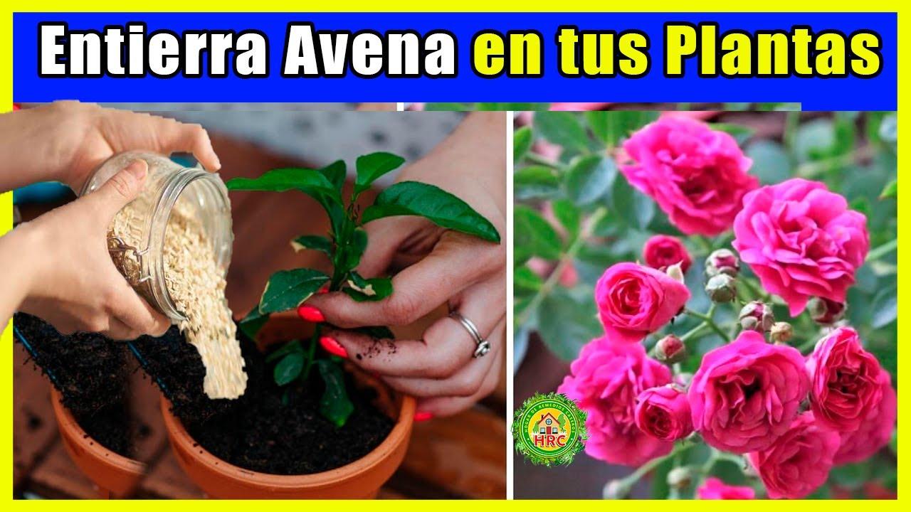 Entierra Avena en tus Plantas y no podras creer lo que Veras! Gran  Floracion, Hojas mas Verdes,