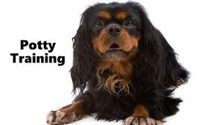 How To Potty Train An English Toy Spaniel Puppy - English Toy Spaniel Training - Toy Spaniel Puppies