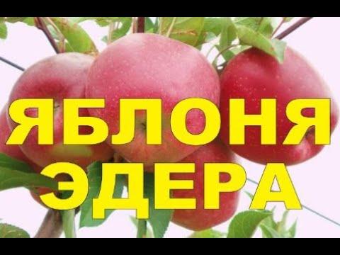 ЯБЛОНЯ ПОЗДНЕЗИМНЯЯ СОРТ ЭДЕРА (УКРАИНА) /// ИНТЕНСИВНЫЙ СОРТ