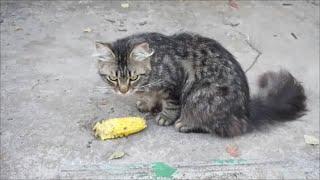 Кот - гурман, кукуруза / Cat - gourmet, corn