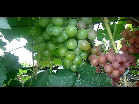 Сорта винограда Аркадия, Гурман ранний, Страшенский, Фавор, к-ш Долгожданный на 1 августа 2019.