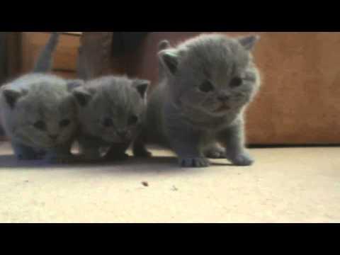 Первые шаги британских котят.