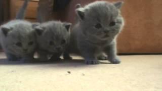 Первые шаги британских котят.(видео предоставлено питомником британских кошек Silvery Snow. собрано с разных видео 2010-2014 гг. Сайт питомника..., 2014-06-18T15:47:23.000Z)