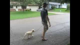 Addie's First Structured Walk | Follow The Leader Dog Training And Rehabilitation Llc