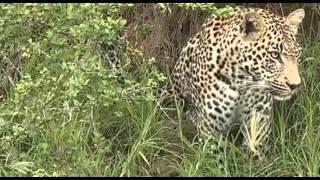 Lampart - dziki świat Afryki ,, Safari