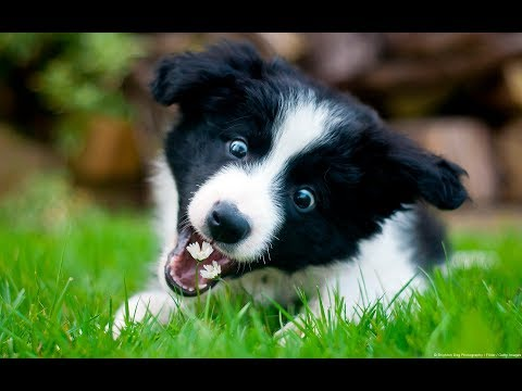 Funny and weird Border Collie habits! .... Super Sophie