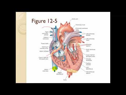 Chapter 12 The cardiovascular system Heart Part 1