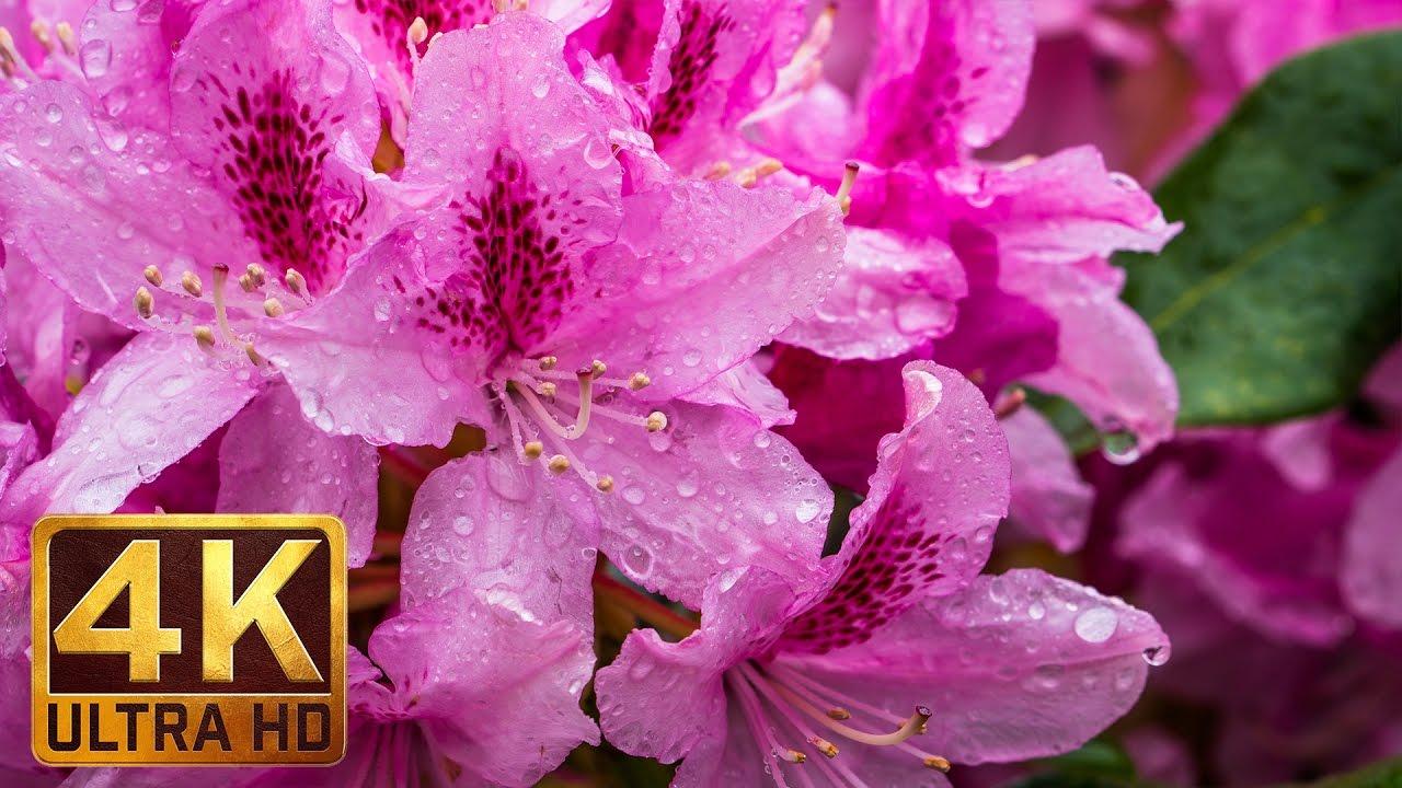 4K Rain On Flowers