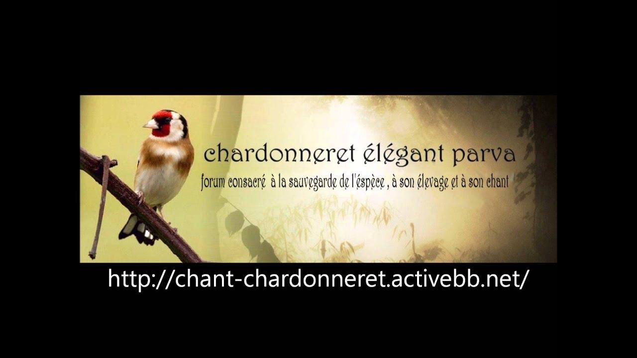 chant chardonneret algerie