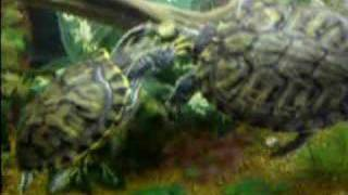 Red eared slider Mating Ritual