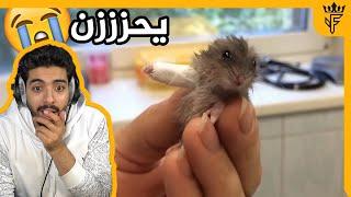 همستر مسوي جبيرة ليده المكسورة 😭 !!