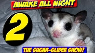 AWAKE ALL NIGHT THE SUGAR GLIDER SHOW EPISODE TWO ( 2 ) Dec 2012 cages teeth vets biting bonding