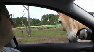 Serengeti Park Hodenhagen (Sommer 2010)  - Safari, weisse Tiger und Affenland