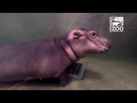Baby Hippo Fiona Getting Use to Deeper Water - Cincinnati Zoo