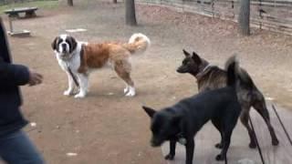 甲斐犬 颯(ハヤテ) 藍玉の心 紅玉の珠月 リン 柴犬 もも セントバーナ...