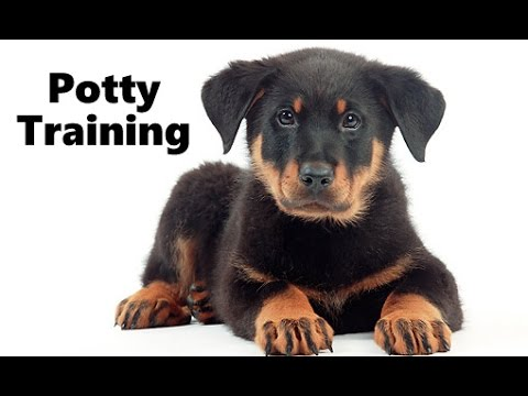 How To Potty Train A Beauceron Puppy Beauceron House Training Tips
