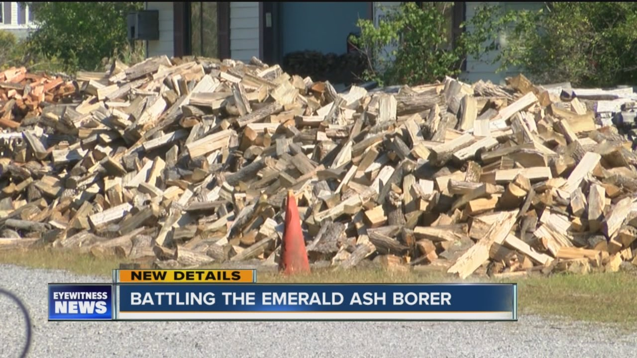 Emerald ash borer causing firewood shortage youtube