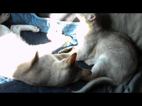 Sugar and Spice two Singapura cat sisters playing