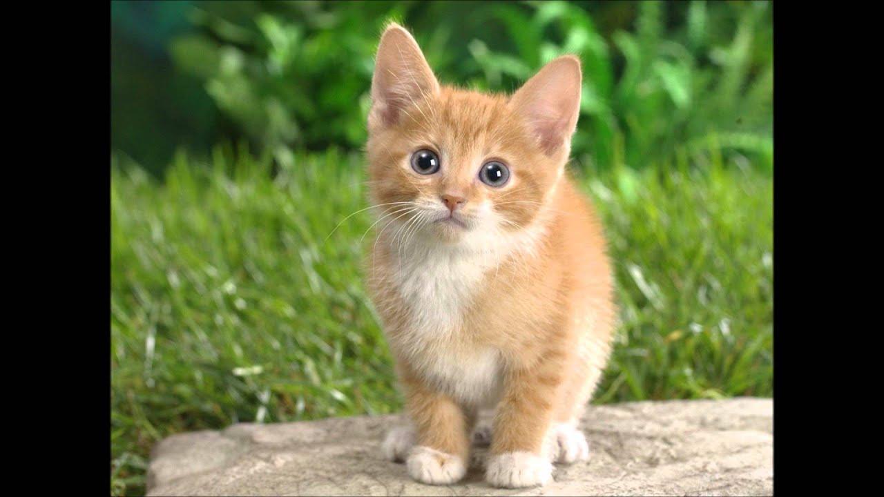 Dlakava maca širi slike