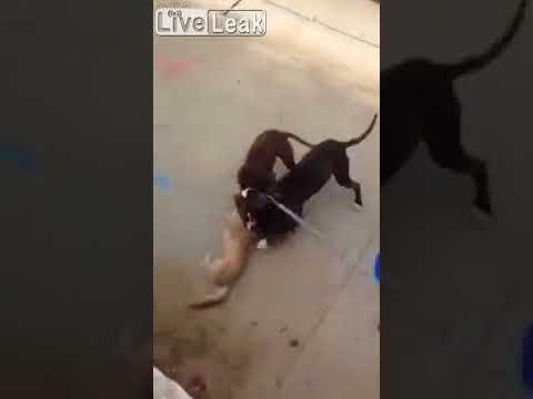 Pitbulls killing cat! Warning very violent video-->ダウンロード&関連動画>>